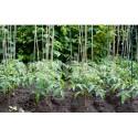 Tutori din bambus (150 cm)