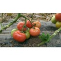 Hibrid tomate Aphen F1 - 250 seminte