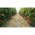 Seminte tomate Oasis F1 - 100 seminte.