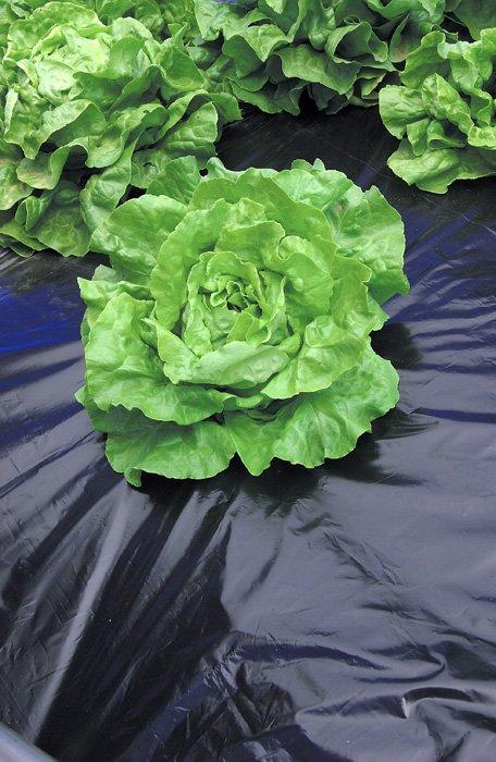 Folie mulcire salata
