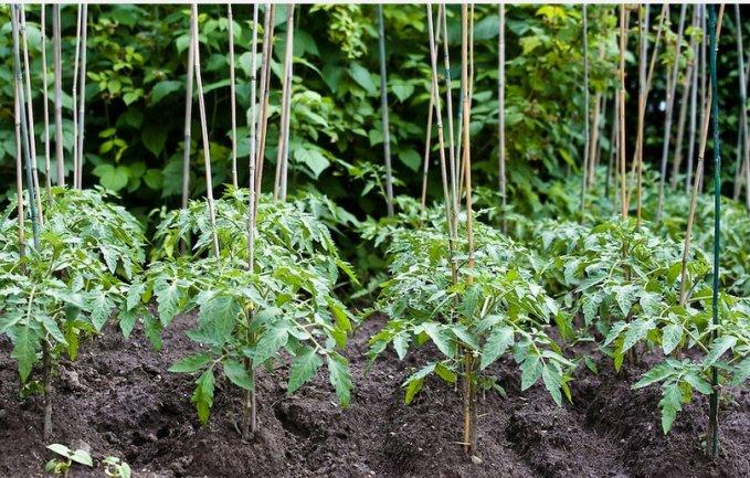 Tutori bambus tomate