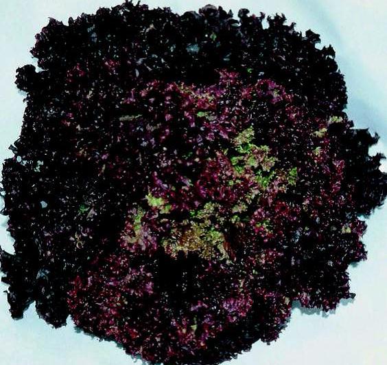 Salata Sanguine Clause