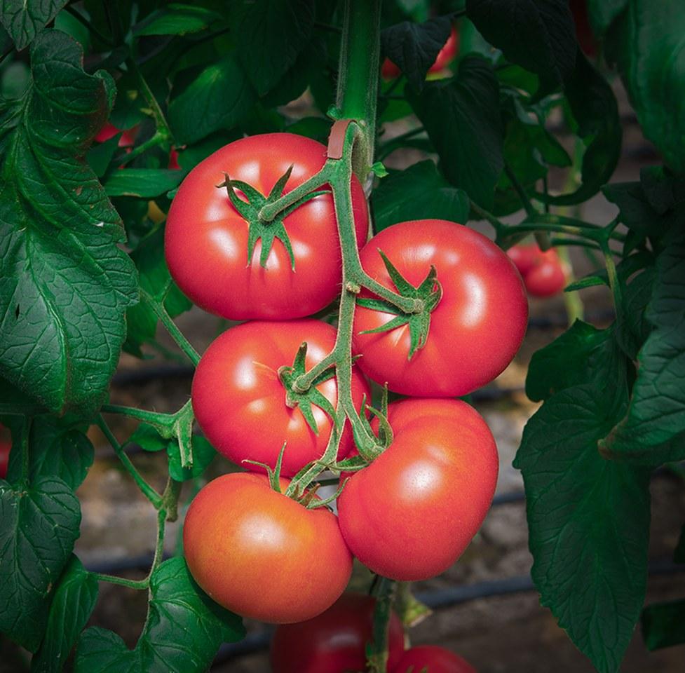 Seminte profesioanle tomate Clarosa F1 Clause