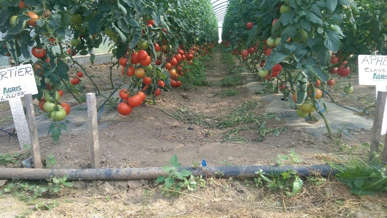Verdon - Hibrid tomate Kartier F1 Clause