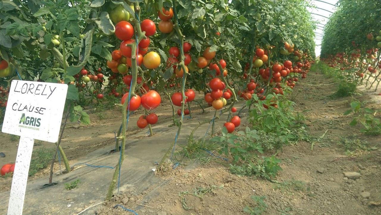 Verdon - Hibrid tomate Lorely F1 Clause