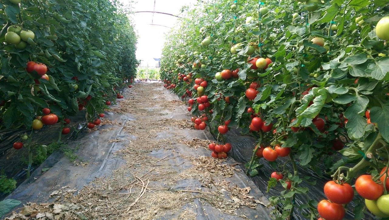 Verdon - Hibrid tomate Oasis F1 Clause