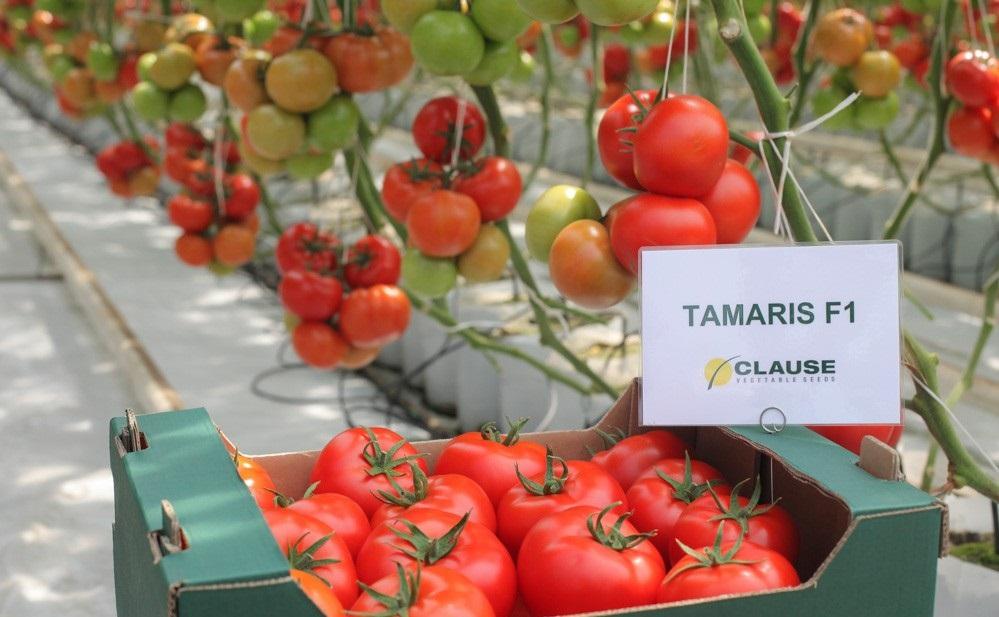 Hibrid tomate Tamaris F1 Clause