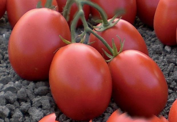 Verdon - Hibrid tomate Pietrarossa Clause
