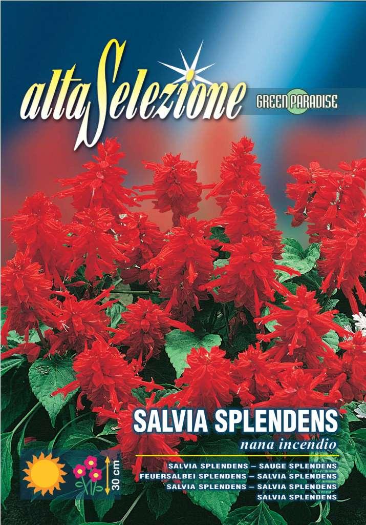 Salvia splendens Pitica incendiu