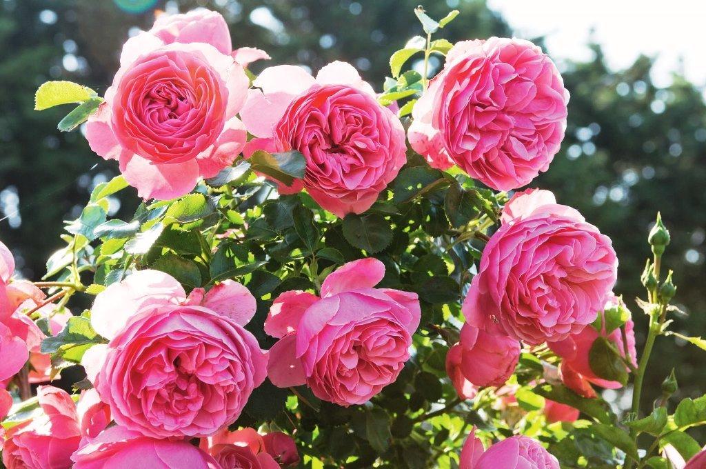 Ingrasamant trandafiri