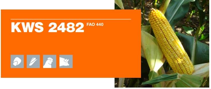 Verdon - Samanta porumb KWS 2482