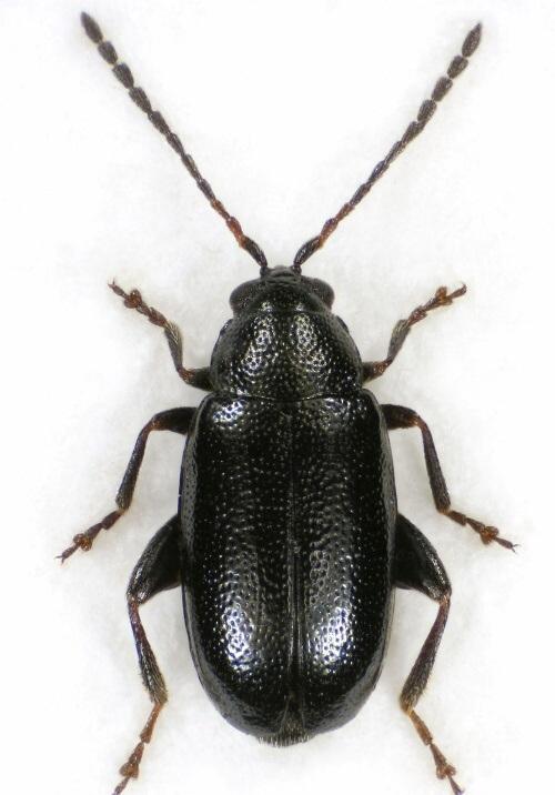 Verdon - Puricele negru al rapitei Phyllotreta atra