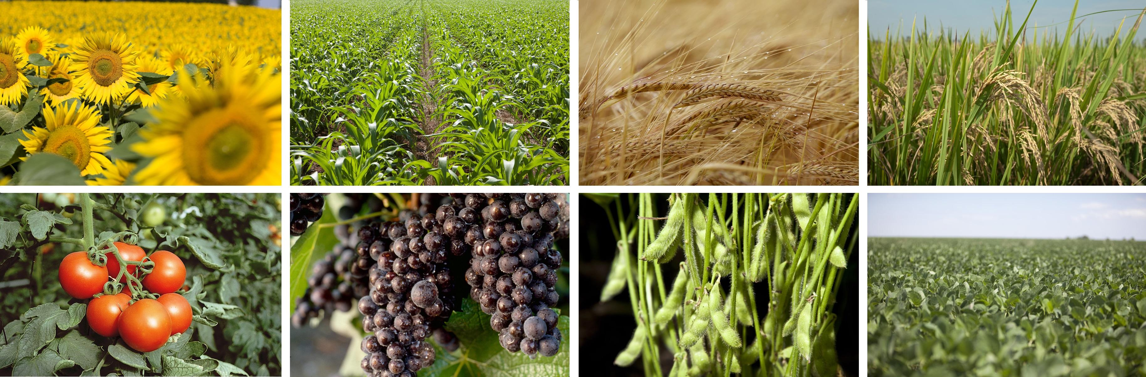 Syngenta - Culturi agricole