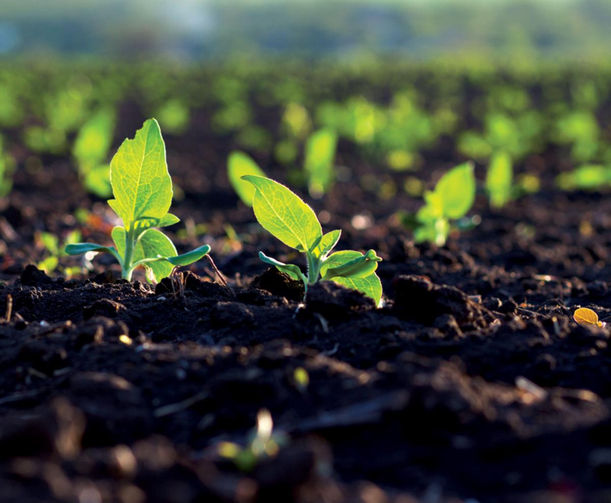 Cultura de legume