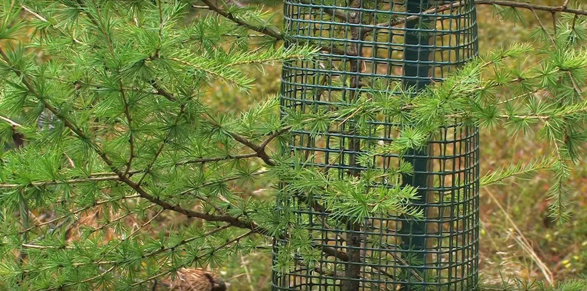 Protectie conifere Freiwuchs 300