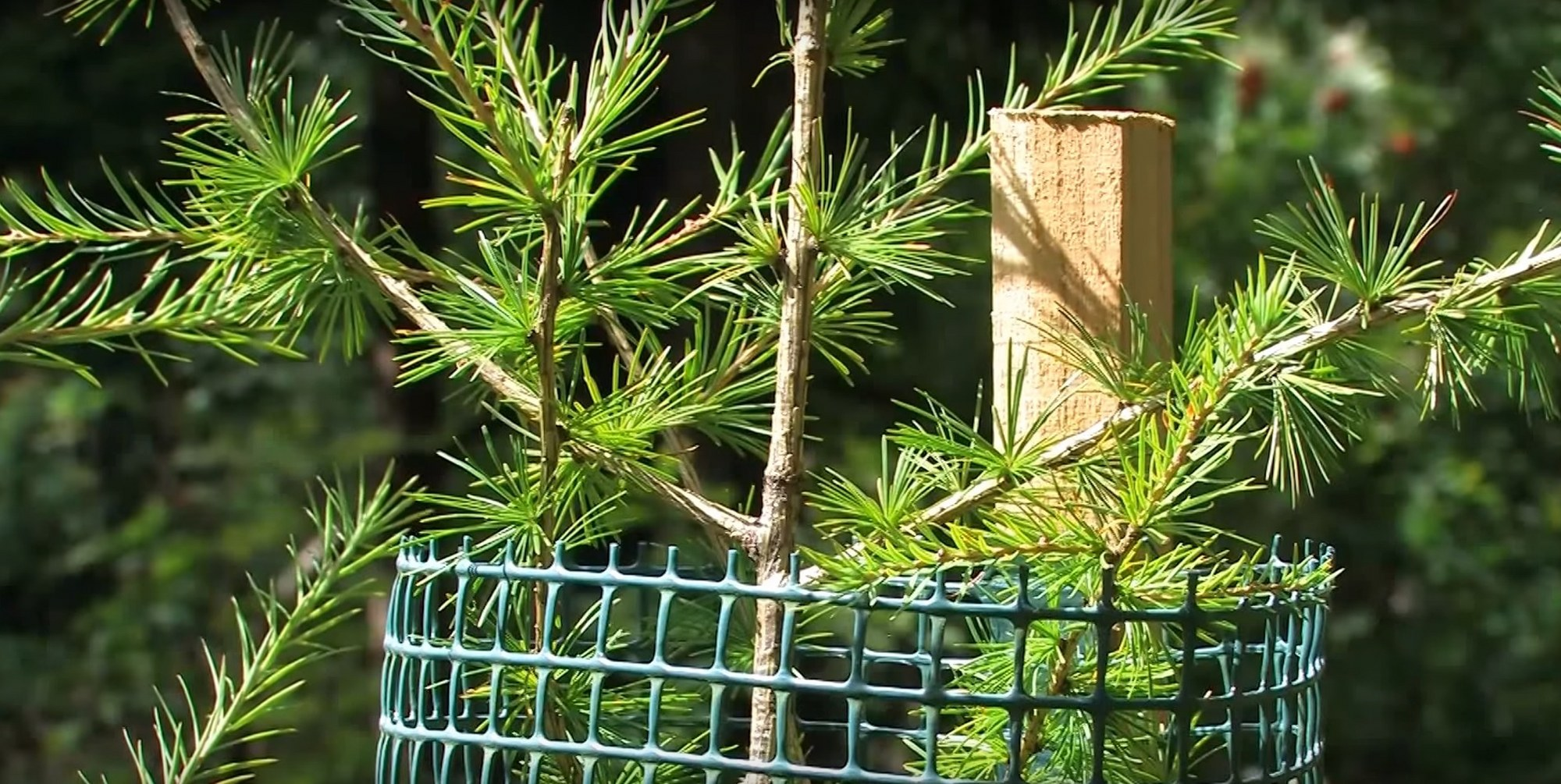 Protectie conifere Freiwuchs - larice (zada)